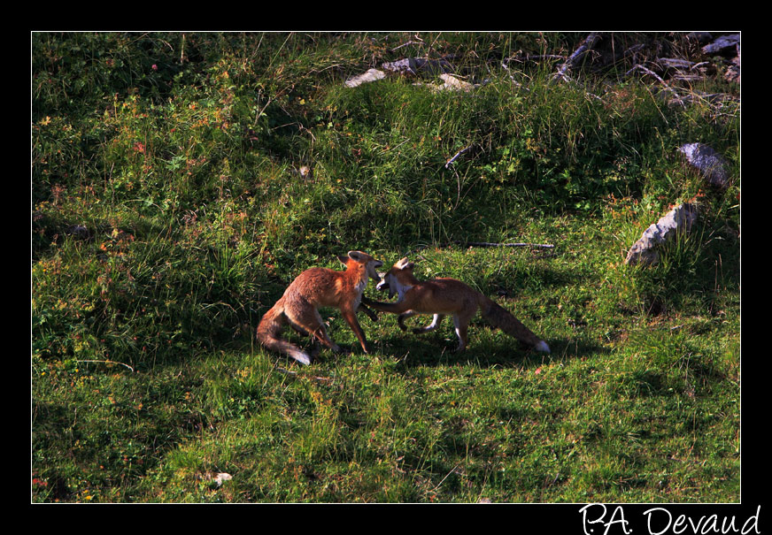 Renard roux (Vulpes Vulpes) Red fox