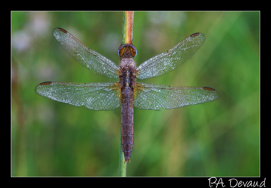 Orthétrum brun (Orthetrum brunneum) (Brown Skimmer )