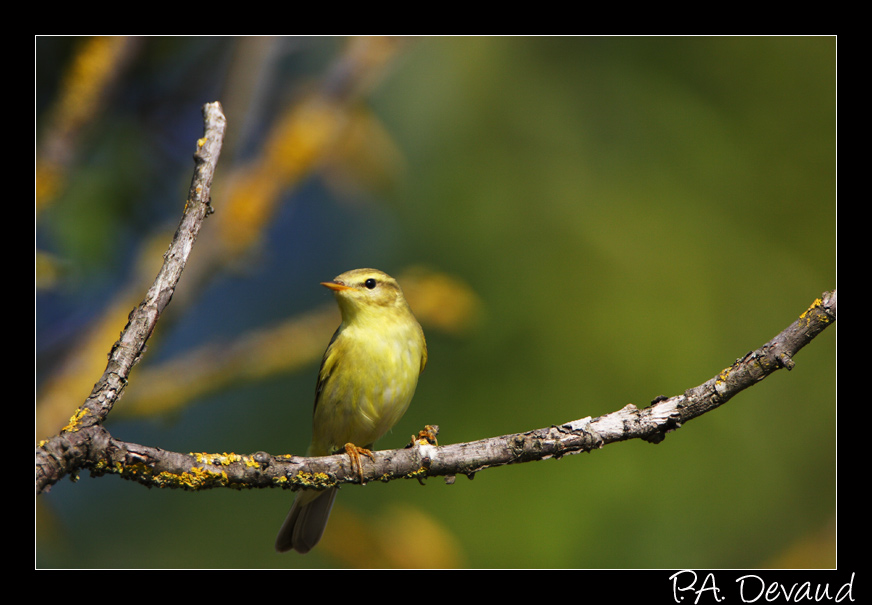 Pouillot fitis (Phylloscopus trochilus) Willow Warbler