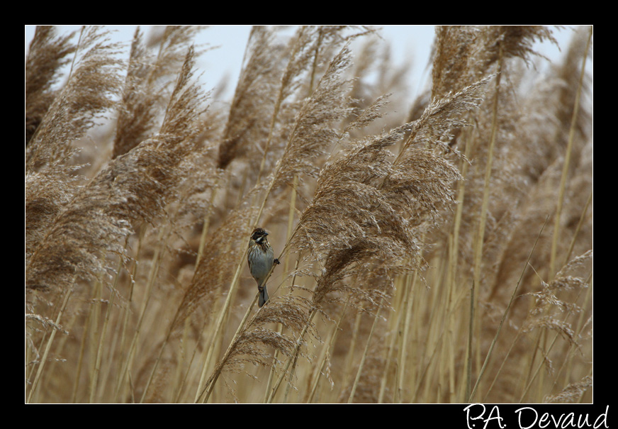 Bruant des roseaux (Emberiza schoeniclus) Reed Bunting