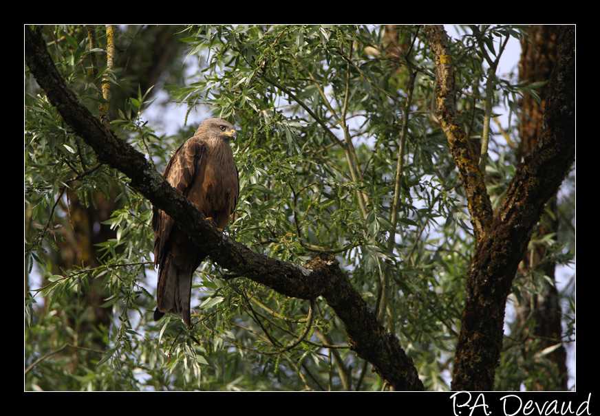 Milan royal (Milvus milvus) Red Kite