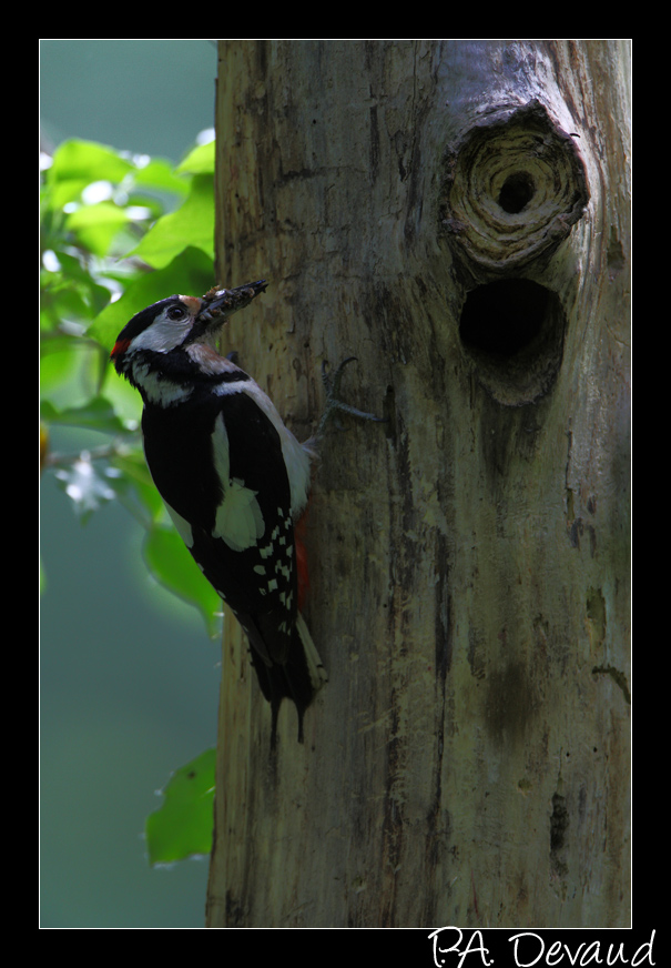 Pic épeiche (Dendrocopos major) Great Spotted Woodpecker - Nourrissage au nid