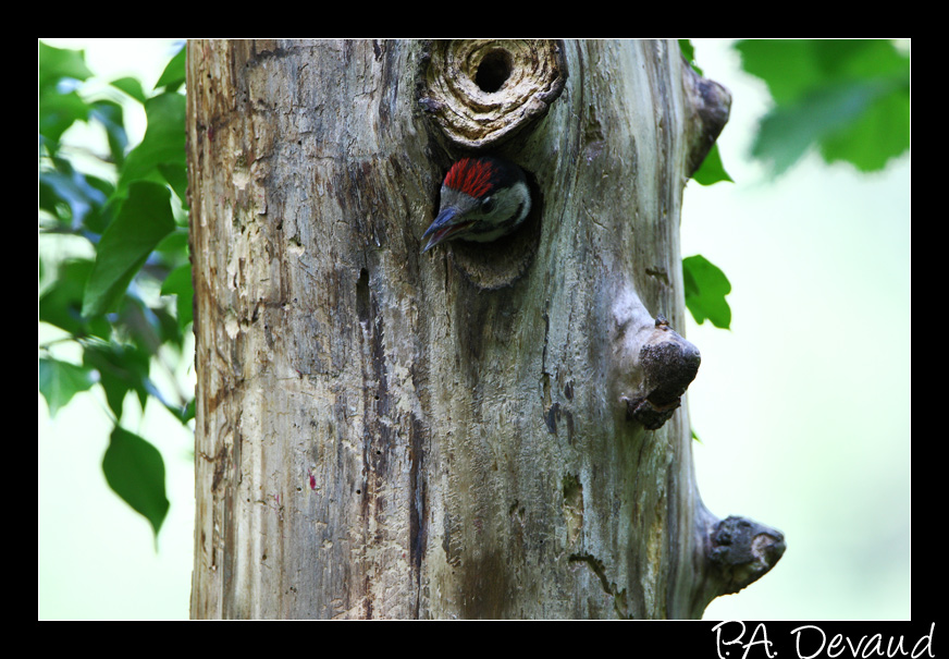 Pic épeiche (Dendrocopos major) Great Spotted Woodpecker - un jeune affamé