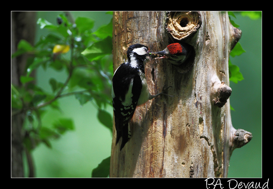 Pic épeiche (Dendrocopos major) Great Spotted Woodpecker - Séquence nourrissage 1/10