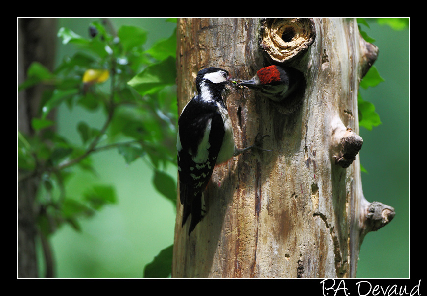 Pic épeiche (Dendrocopos major) Great Spotted Woodpecker - Séquence nourrissage 2/10