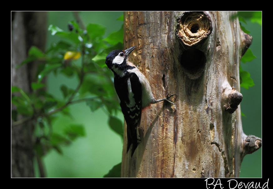 Pic épeiche (Dendrocopos major) Great Spotted Woodpecker - Séquence nourrissage 10/10