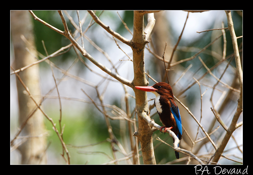 Martin-chasseur de Smyrne (White-throated Kingfisher) (Halcyon smyrnensis) (นกกะเต็นอกขาว)