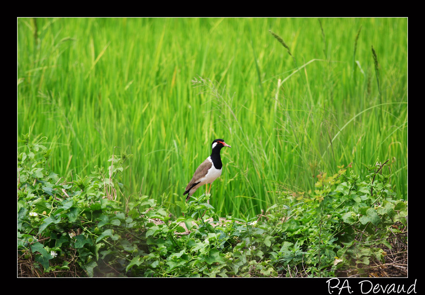 Vanneau indien (Red-wattled Lapwing) (Vanellus indicus) (นกกระแตแต้แว้ด)